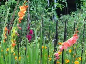 Hermosos y coloridos gladiolos en el jardín