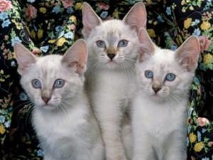 Tres siameses