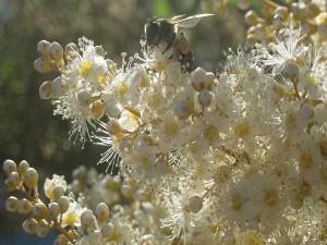 Abeja posada sobre unas flores blancas