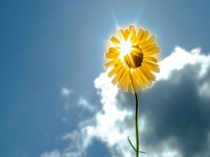 Rayo de sol cae sobre una girasol