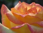 Una bella rosa con el rocío de la mañana
