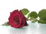 Bella rosa con rocío matinal