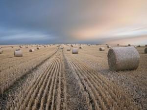 Gran cantidad de rollos de paja en el campo