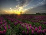 Pintoresco campo de tulipanes púrpura en Dinamarca