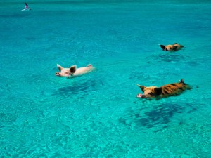Cerdos nadando en una playa de Bahamas