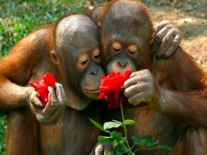 Dos orangutanes oliendo una rosa roja