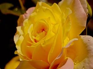 Rosa amarilla con gotitas de rocío