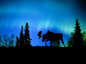 Alce caminando bajo las luces del norte