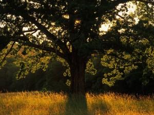 Un hermoso árbol en el campo