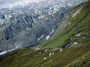 Cabras blancas en las montañas