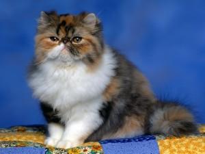 Gato persa calicó