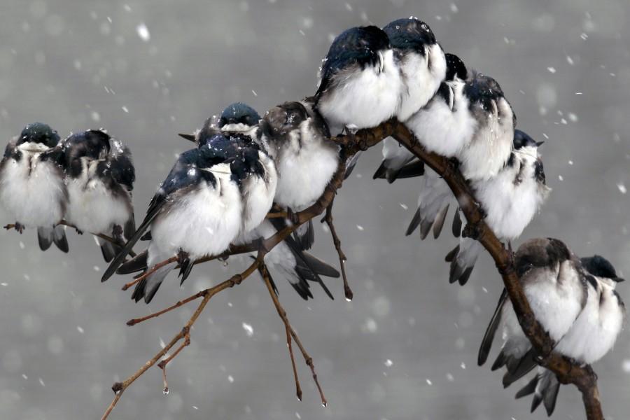 Gorriones posados en una rama bajo la nieve
