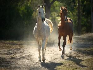 Dos bellos caballos trotando