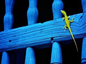 Lagarto verde sobre una valla azul