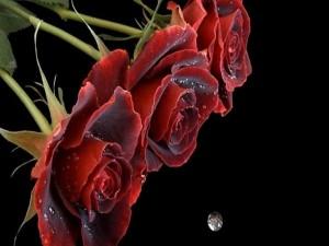 Gotita de agua cae de las rosas