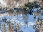 Manada de lobos en la nieve