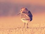 Pájaro buscando comida en la arena