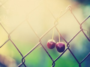 Cerezas colgadas en una alambrada