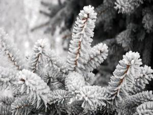 Ramas de pino congeladas en invierno