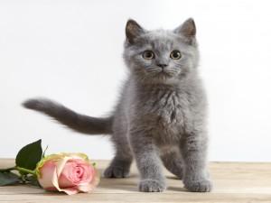 Gatito junto a una rosa