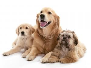 Tres bellos perros