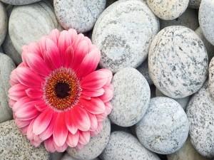 Gerbera rosa sobre unas piedras
