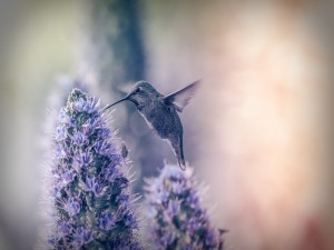 Colibrí libando el néctar de unas flores