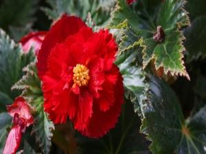 Espléndida begonia roja en la planta