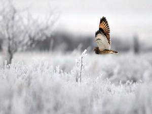 Búho volando en invierno