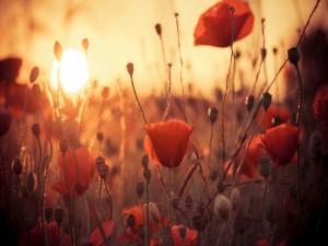 Sol iluminando un campo de amapolas