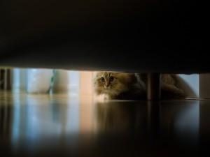 Gato buscando algo bajo la cama