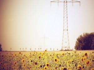 Girasoles creciendo en el campo