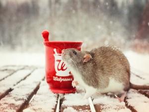Rata bajo la fría nieve
