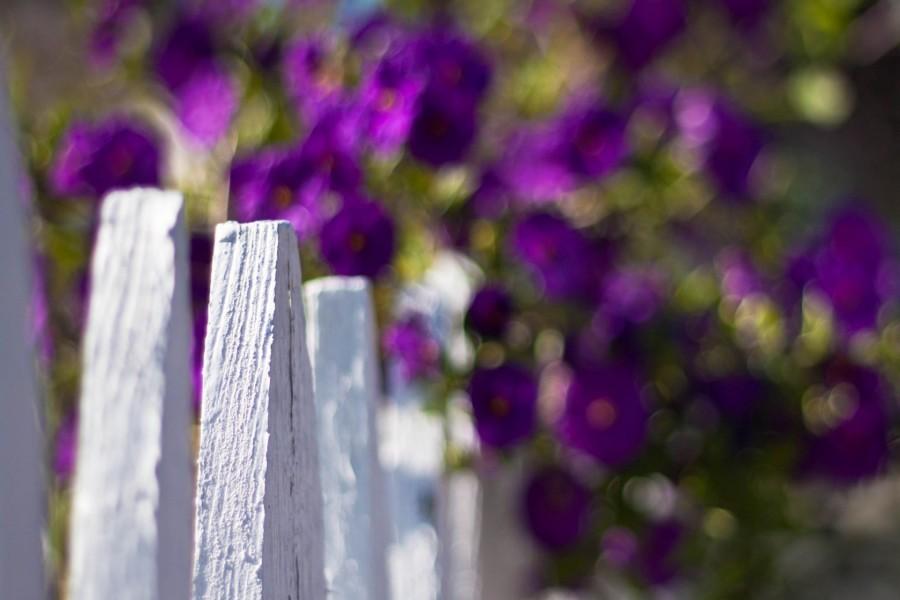 Flores púrpura junto a una valla blanca