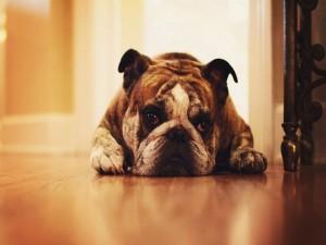 Bulldog tumbado en el suelo