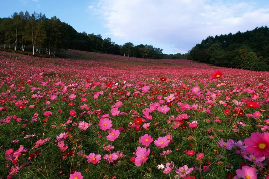 Prado cubierto de hermosas flores rosas