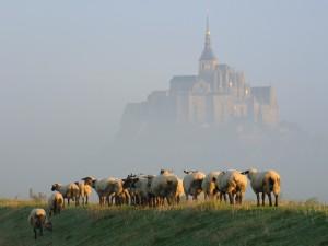 Ovejas pastando junto al Monte Saint-Michel en una mañana con niebla