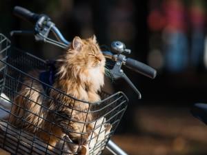 Gato dormitando en una canasto de bicicleta