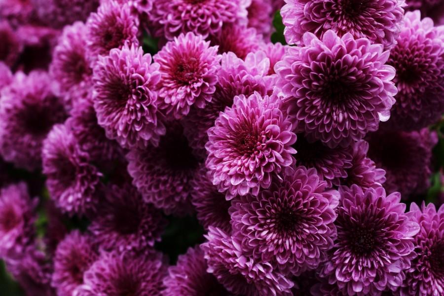 Bonitos crisantemos