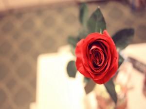 Interior de una rosa roja