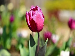 Gotas de agua sobre un tulipán