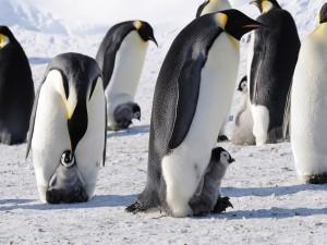 Colonia de pingüinos emperador