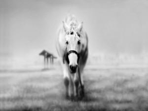 Caballo blanco caminando