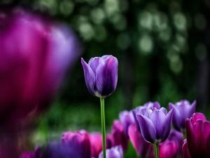 Tulipanes de color fucsia y púrpura