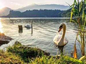 Pareja de cisnes en el lago