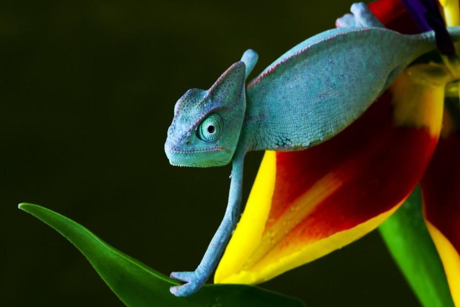 Camaleón sobre una flor