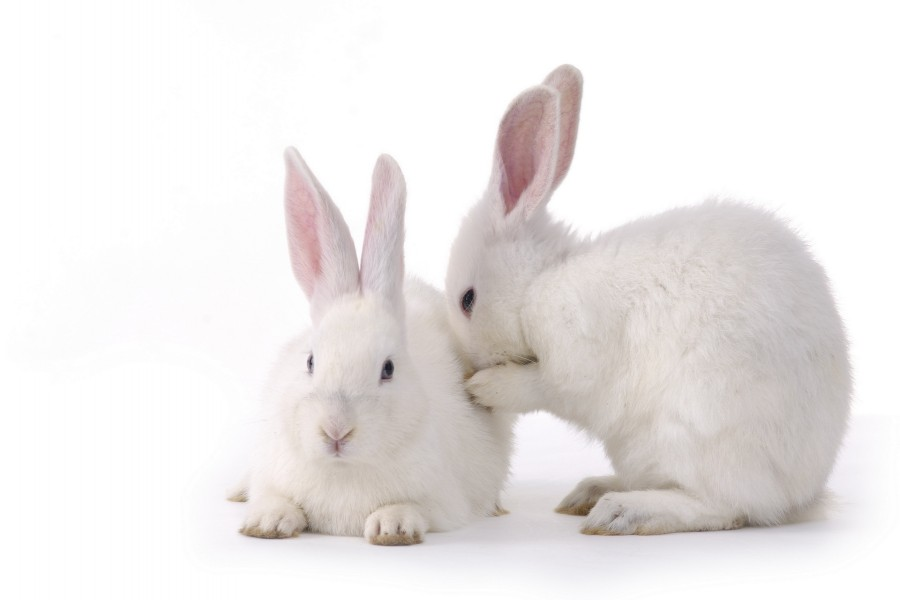 Pareja de conejitos blanco