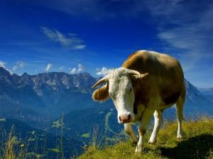 Una vaca en la montaña