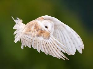 El vuelo de una hermosa lechuza