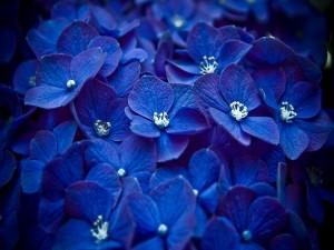 Hortensias azuladas